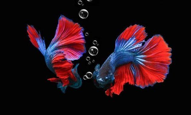ikan hias cupang termahal
