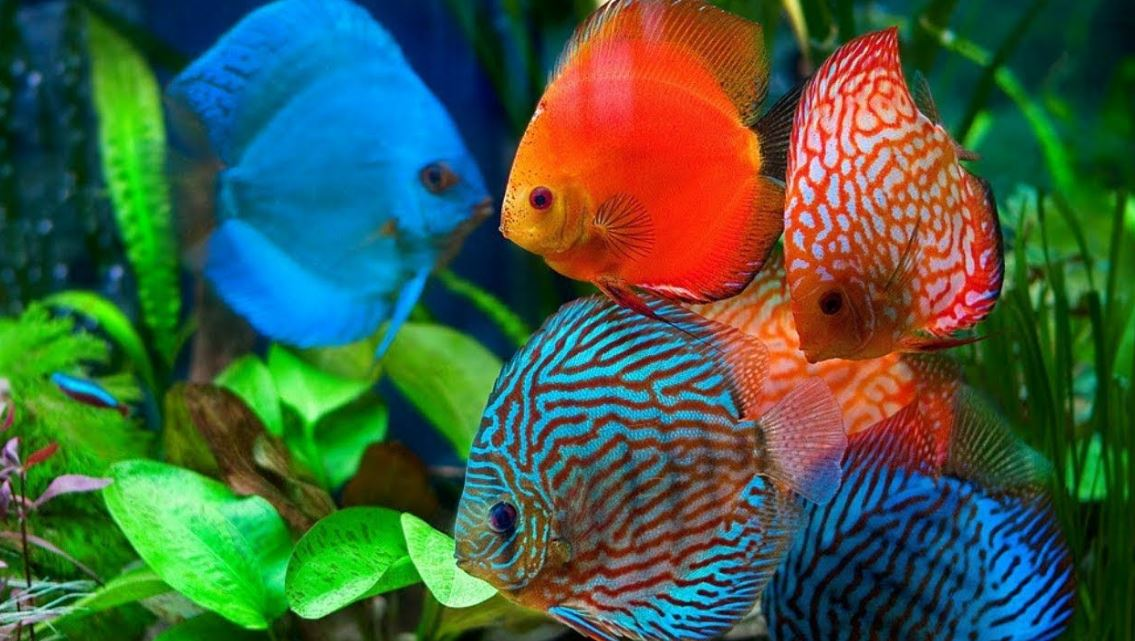 Jenis Ikan Hias Air Tawar Langka dan Indah