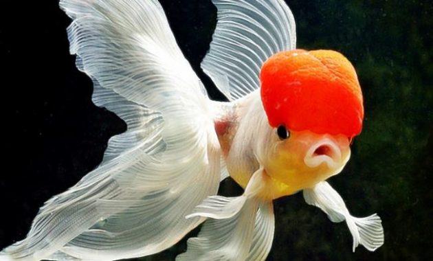 ikan hias koki
