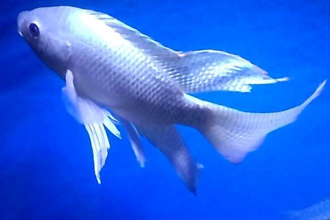 ikan nila hias slayer